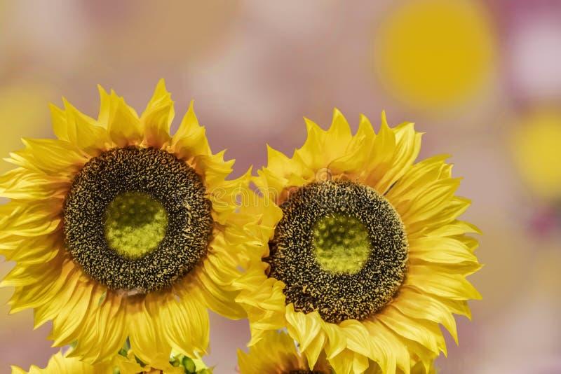Dos girasoles amarillos brillantes grandes contra un fondo en colores pastel del bokeh imagenes de archivo