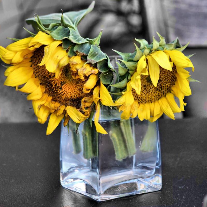 Dos girasoles en el florero de cristal fotografía de archivo