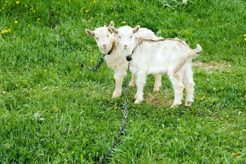 Dos goatlings blancos imágenes de archivo libres de regalías