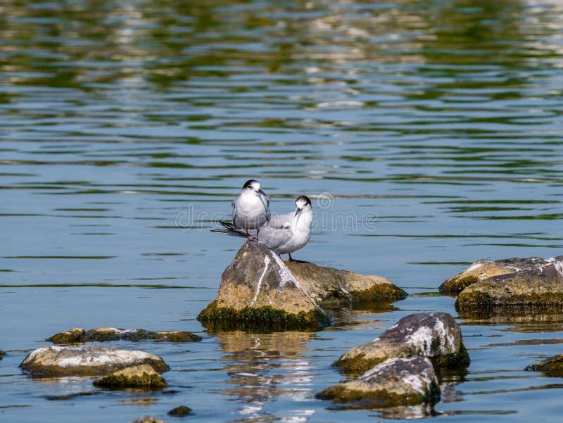 Dos golondrinas de mar comunes adultas, hirundo de los esternones, en plumaje de la no-cría fotos de archivo libres de regalías