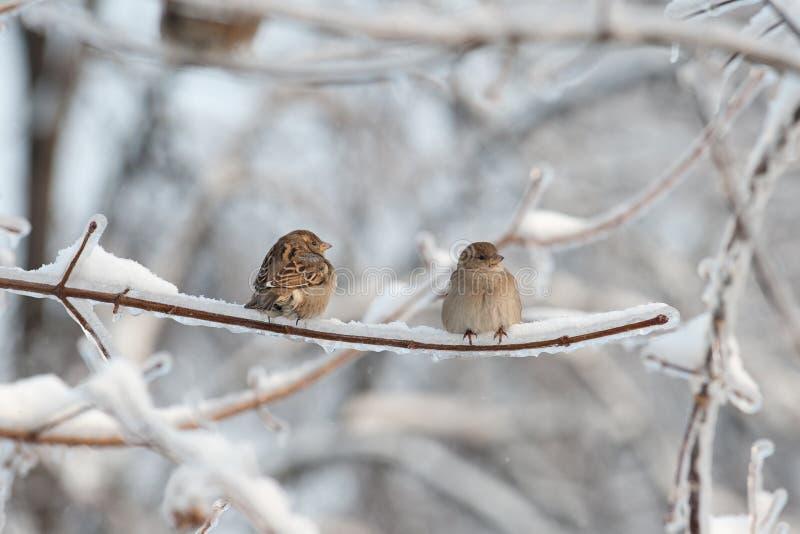 Dos gorriones en el árbol imágenes de archivo libres de regalías