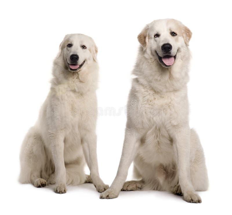 Dos gran Pyreness o perros pirenáicos de la montaña foto de archivo