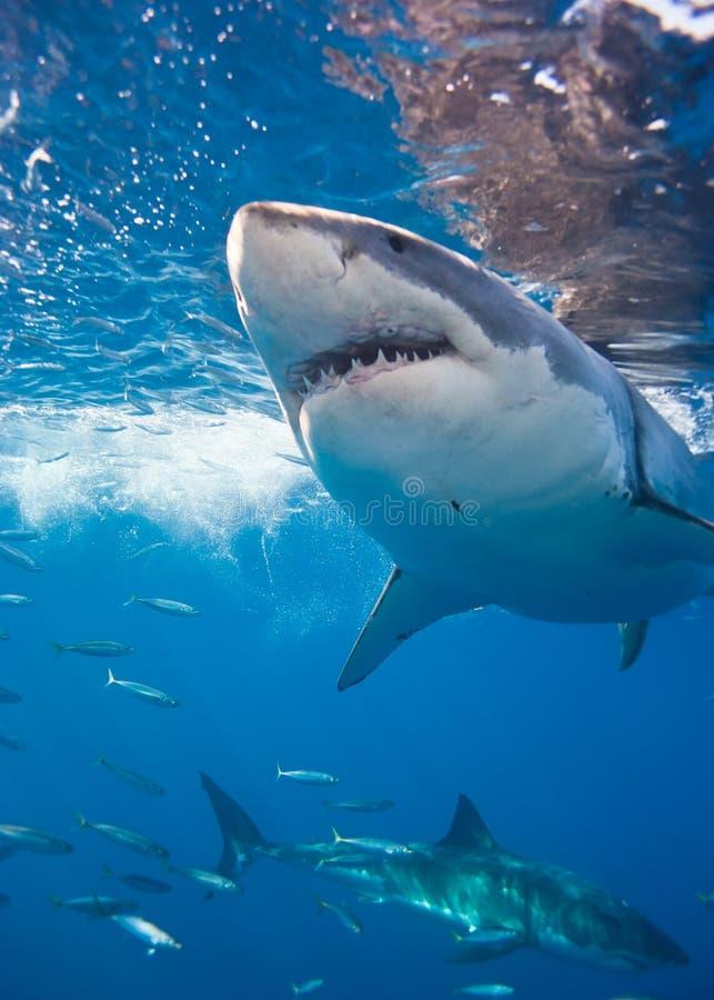 Dos grandes tiburones blancos imágenes de archivo libres de regalías