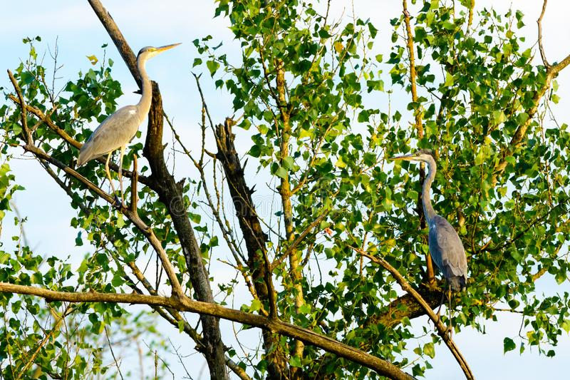 Dos Grey Herons que se sienta en una rama imagen de archivo