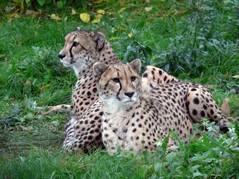 Dos guepardos. fotografía de archivo
