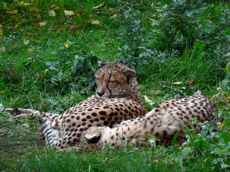 Dos guepardos. imagen de archivo libre de regalías