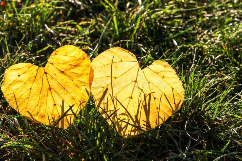 Dos hojas de otoño amarillas en la forma del corazón que miente en hierba en sol moning temprana fotos de archivo