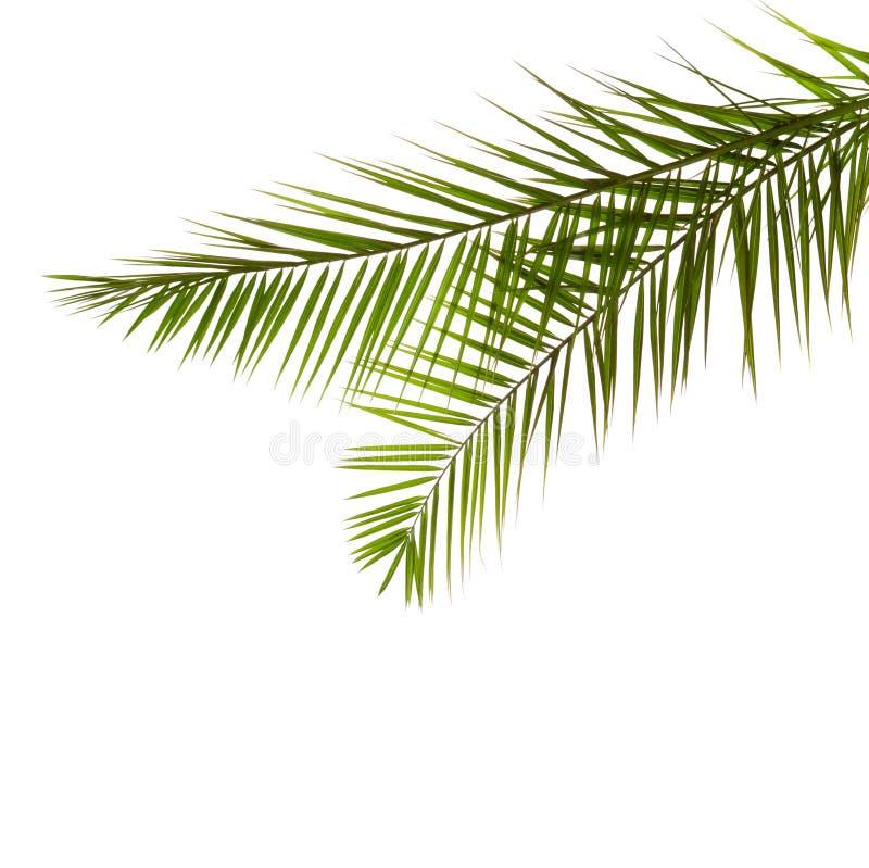 Dos hojas de palma aisladas en el fondo blanco imágenes de archivo libres de regalías