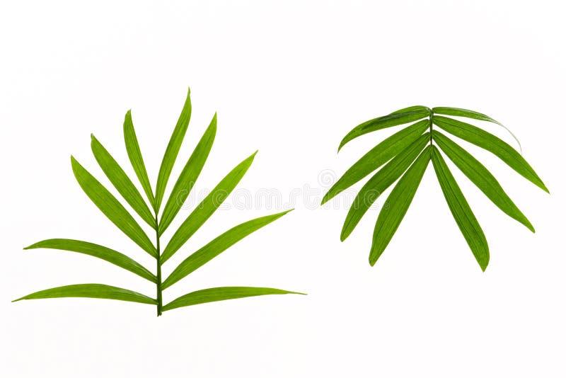 Dos hojas de palma tropicales foto de archivo libre de regalías