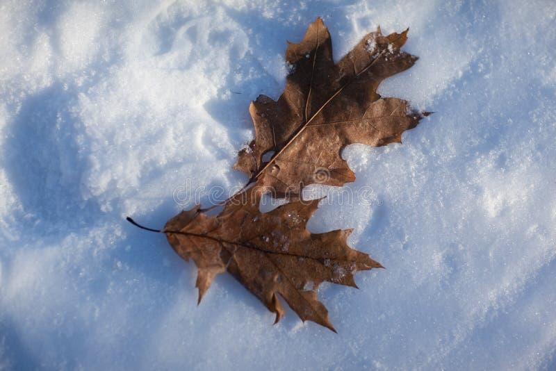 Dos hojas de roble en la nieve foto de archivo
