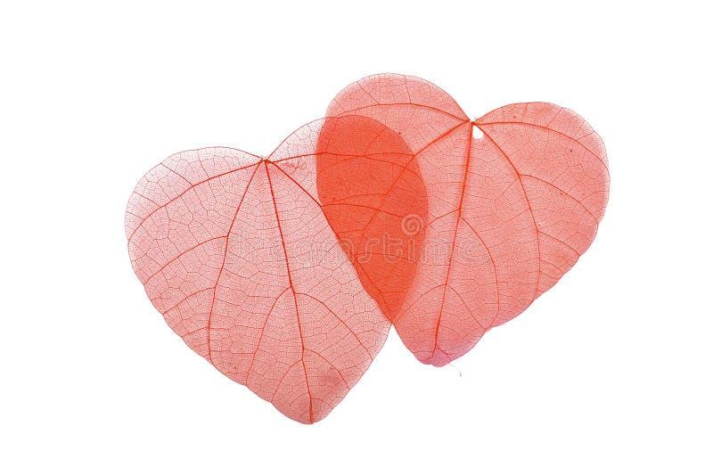Dos hojas en forma de corazón rojas del esqueleto en blanco fotografía de archivo libre de regalías