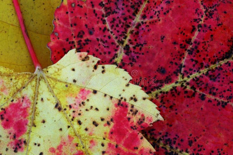 Dos hojas muertas imagenes de archivo