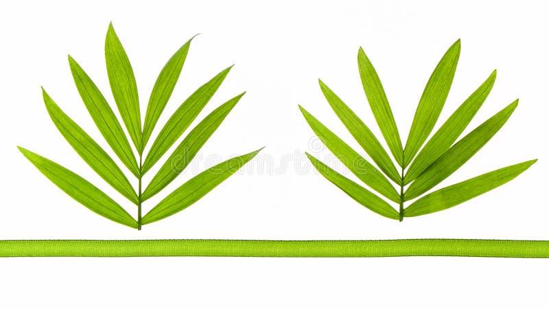 Dos hojas tropicales con una cinta verde imagen de archivo