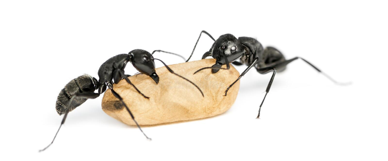 Dos hormigas de carpintero, nervio vago del Camponotus, llevando un huevo foto de archivo