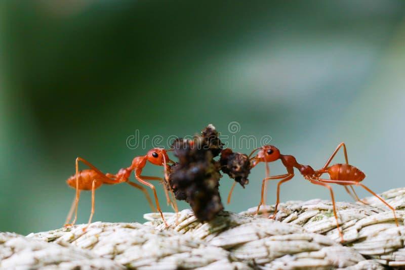 Dos hormigas de fuego ayudan a transportar la comida y el suelo para construir una jerarquía en la naturaleza, trabajo del equipo imagen de archivo libre de regalías