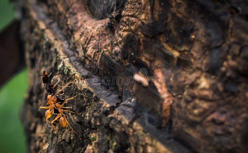 Dos hormigas del tejedor que suben un árbol con una hormiga negra muerta imagen de archivo libre de regalías