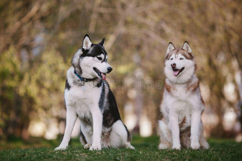 Dos huskyes siberianos que se sientan en el parque foto de archivo