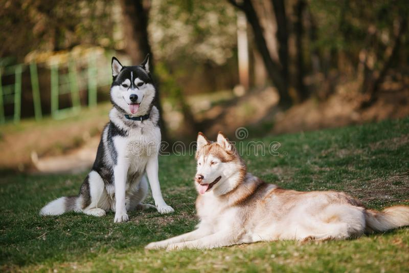 Dos huskyes siberianos que se sientan en el parque imagen de archivo libre de regalías