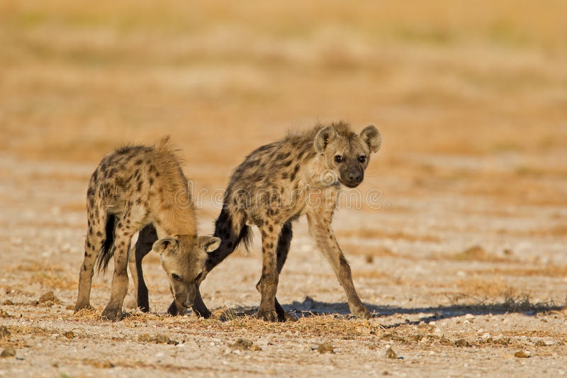 Dos hyenas manchados en campo abierto imagen de archivo libre de regalías