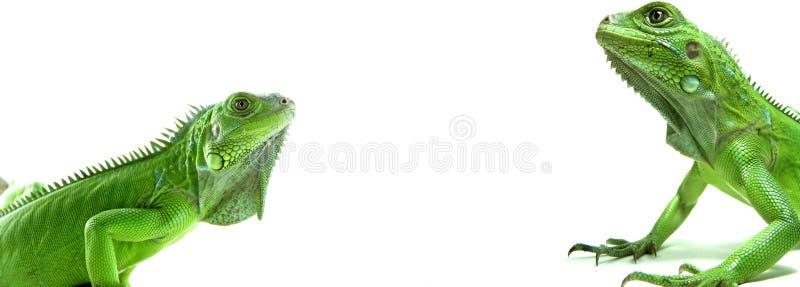 Dos iguanas verdes fotos de archivo libres de regalías