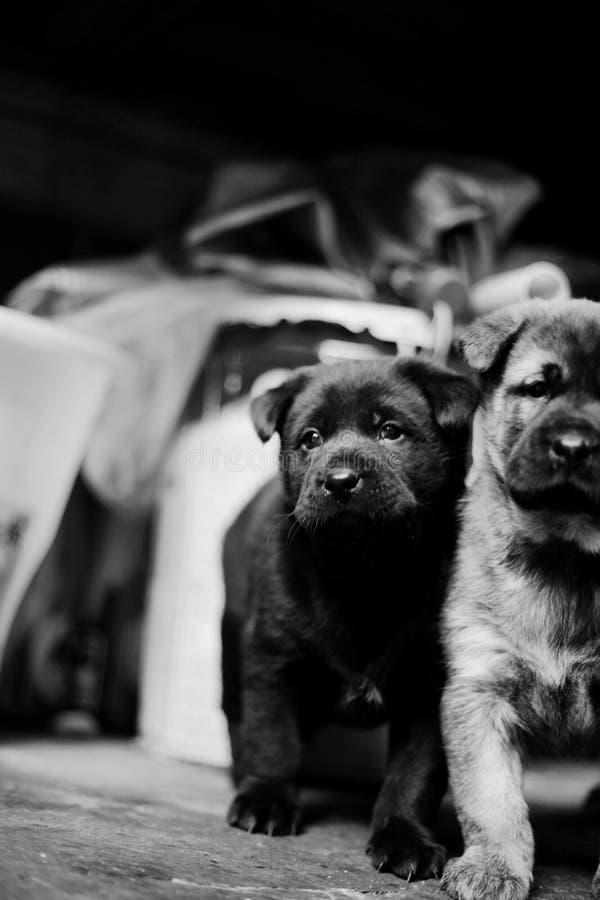 Dos imágenes de los perritos blancos y negros que crecen con uno a imagenes de archivo