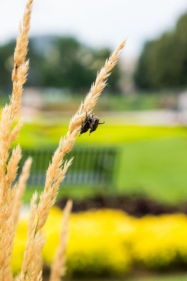 Dos insectos que se acoplan en un punto del trigo imagen de archivo libre de regalías