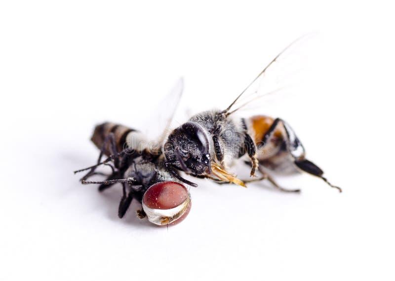 Dos insectos, una mosca doméstica y un concepto de la abeja de la miel foto de archivo libre de regalías