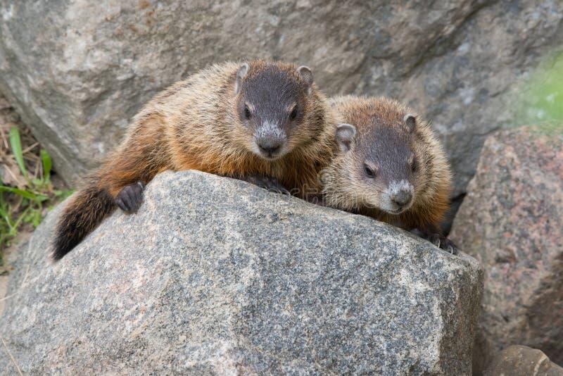 Dos jóvenes Groundhogs en parque urbano nacional del colorete fotos de archivo