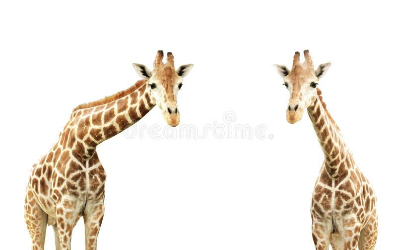 Dos jirafas imagen de archivo