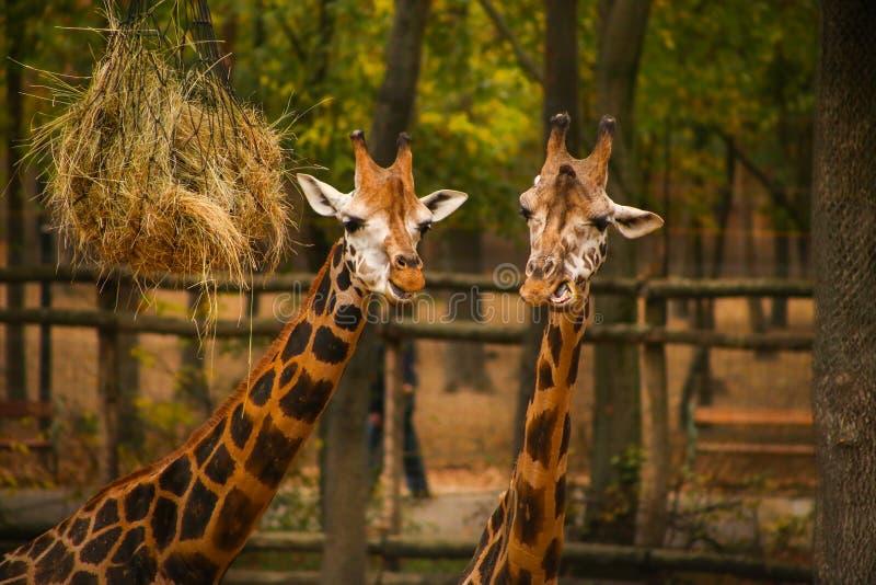Dos jirafas adultas que alimentan en el parque zoológico imagenes de archivo
