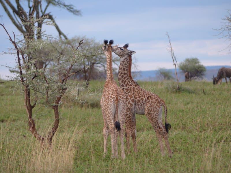Dos jirafas del bebé que comen junto fotografía de archivo