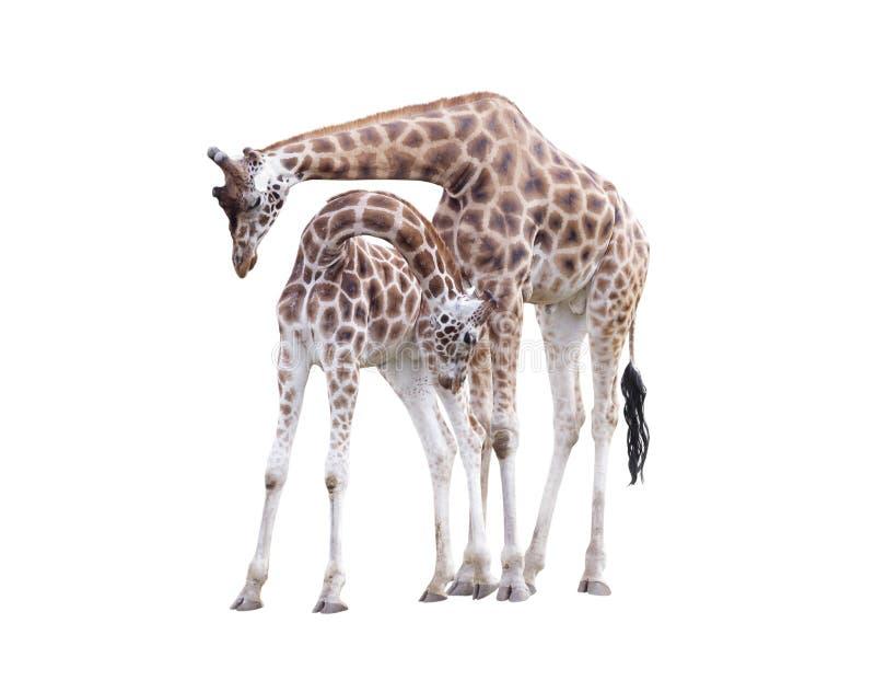 Dos jirafas derechas fotografía de archivo libre de regalías