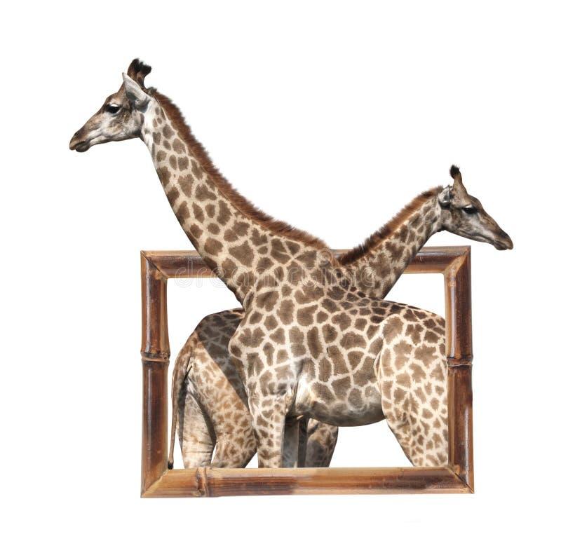 Dos jirafas en el marco de bambú con el efecto 3d foto de archivo