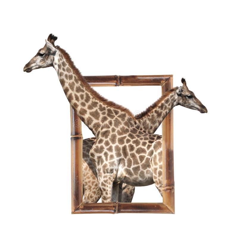 Dos jirafas en el marco de bambú con el efecto 3d imágenes de archivo libres de regalías