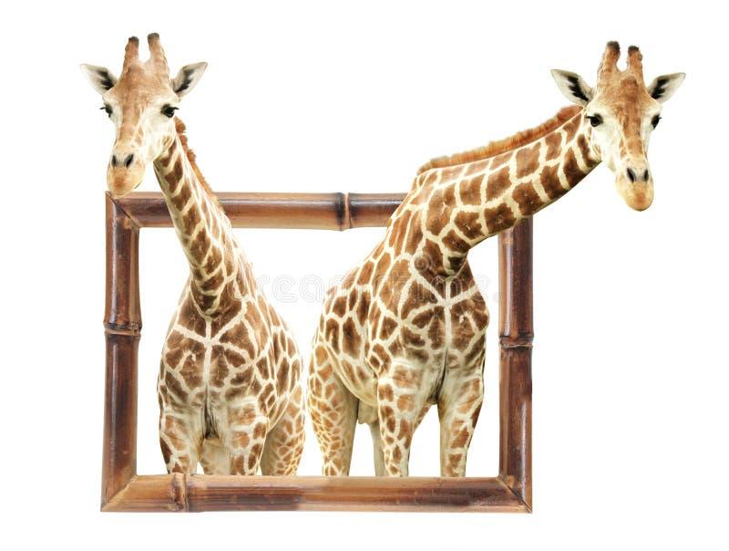 Dos jirafas en el marco de bambú con el efecto 3d fotos de archivo libres de regalías