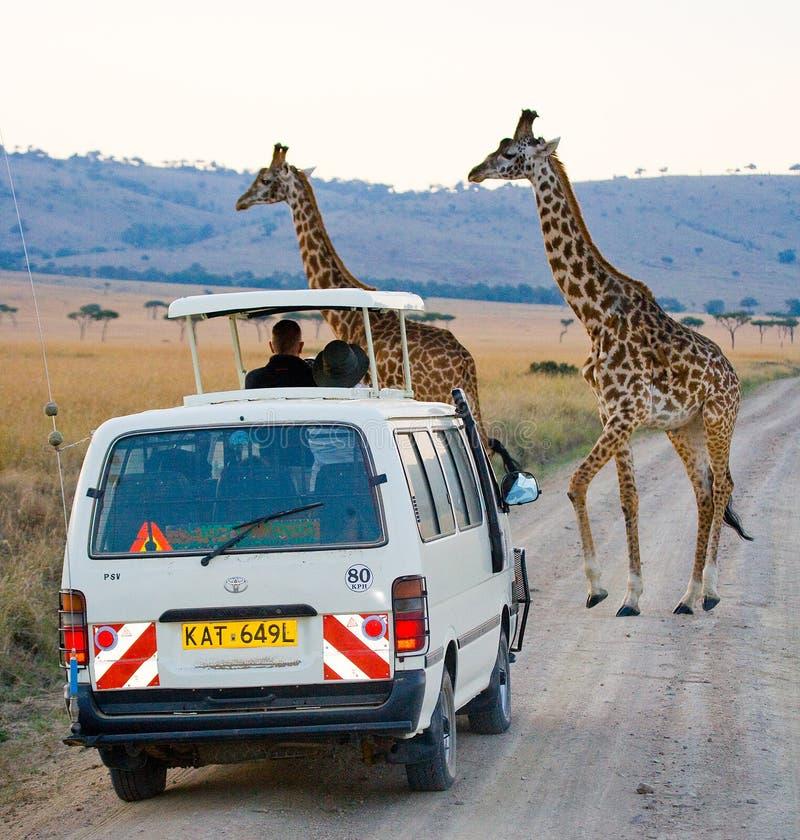 Dos jirafas en sabana kenia tanzania La África del Este imagen de archivo libre de regalías