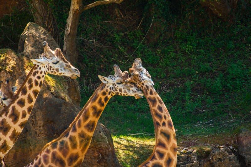 Dos jirafas que se dan el afecto foto de archivo libre de regalías