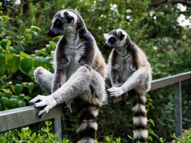 Dos lémures lindos que se sientan simétricamente en una cerca fotos de archivo libres de regalías