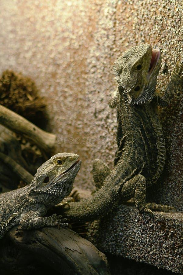 Dos lagartos fotografía de archivo