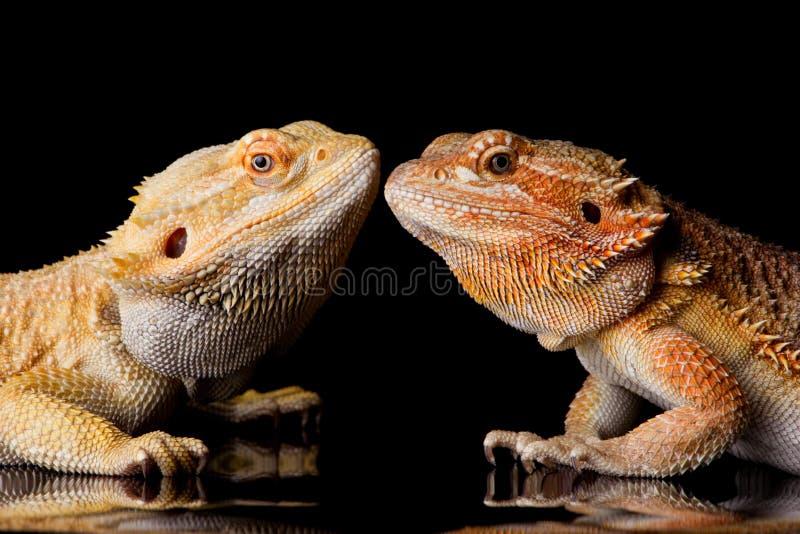 Dos lagartos barbudos del Agama fotografía de archivo