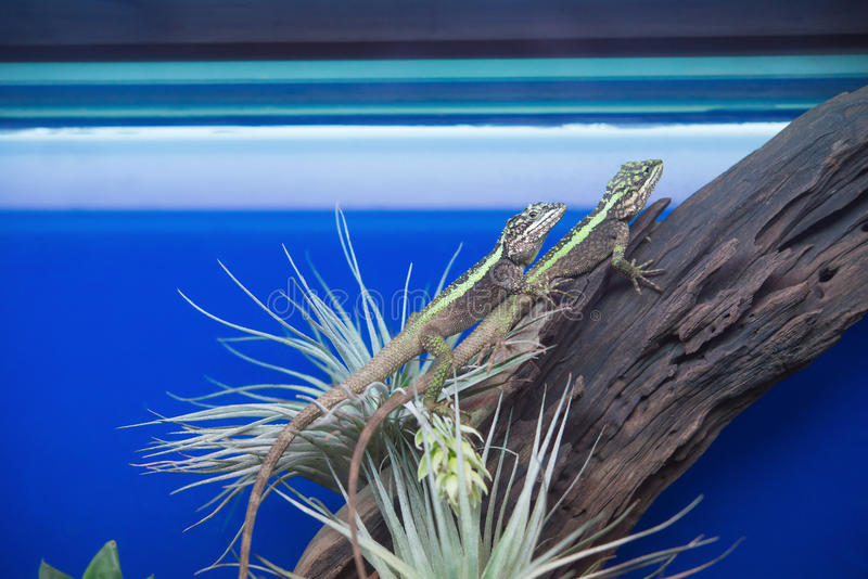 Dos lagartos en árbol fotos de archivo libres de regalías