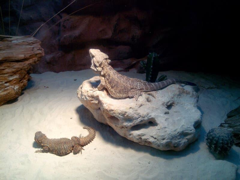 Dos lagartos en el desierto de medianoche fotografía de archivo