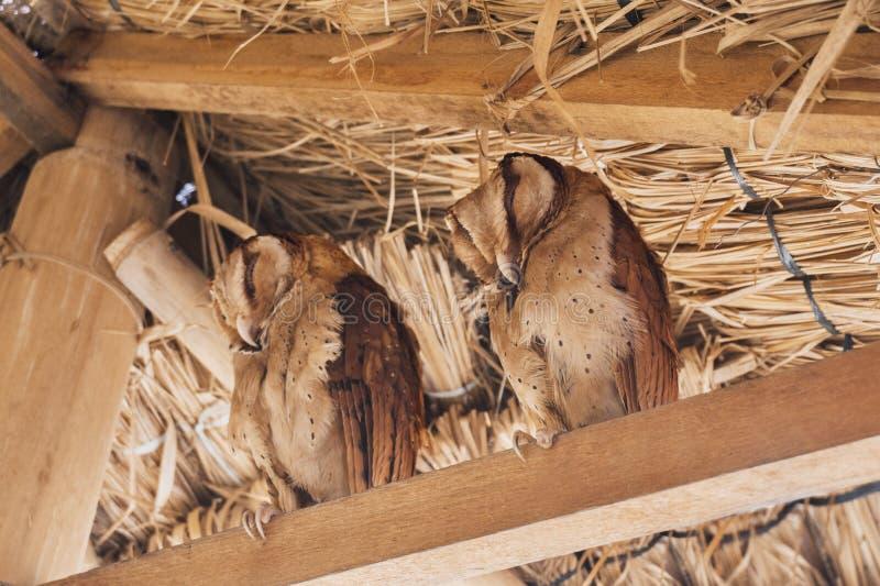 Dos lechuzas comunes hermosas La lechuza común es la especie lo más extensamente posible distribuida de búho foto de archivo libre de regalías