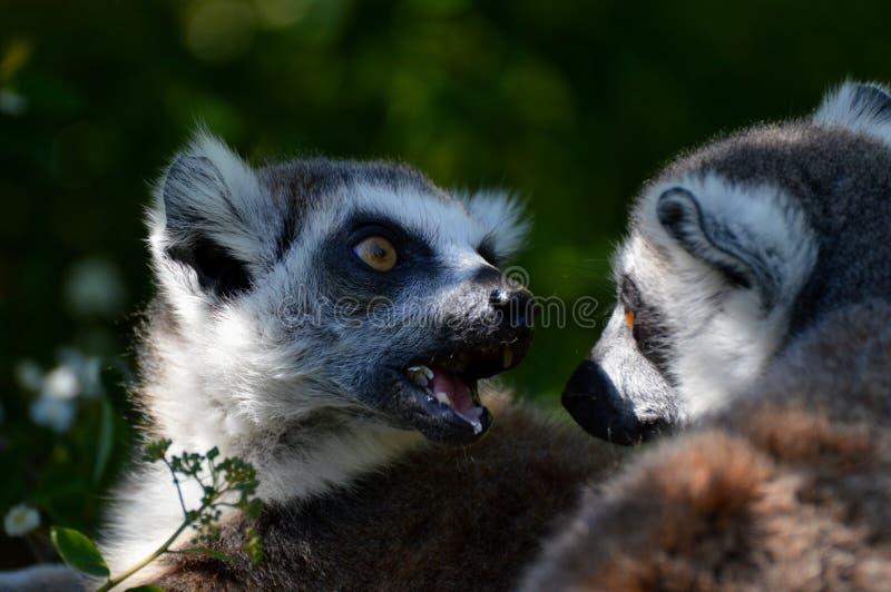 Dos lemurs imagen de archivo libre de regalías