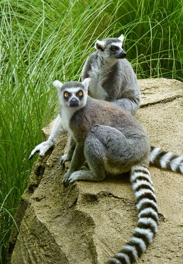 Dos Lemurs en el parque zoológico foto de archivo