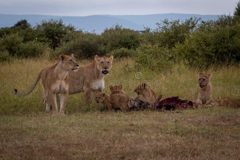 Dos leonas guardan la res muerta del ñu con los cachorros foto de archivo