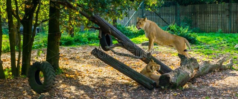 Dos leonas junto, león femenino que coloca un tronco de árbol y que se lame los labios, gato salvaje tropical de África, animal v fotos de archivo