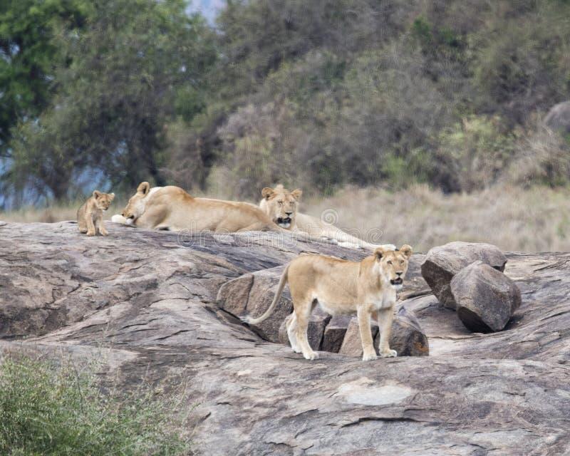 Dos leonas y un león y un cachorro en una roca gris grande foto de archivo libre de regalías