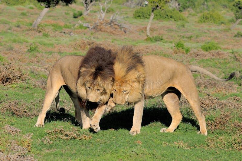 Dos leones de Kalahari que juegan en Addo Elephant National Park imagen de archivo