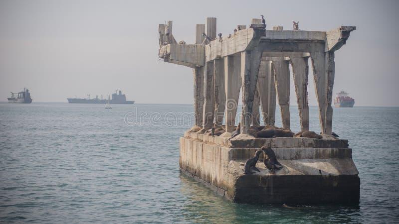 Dos leones marinos que se besan sobre un puente quebrado en el puerto de Valpar fotos de archivo